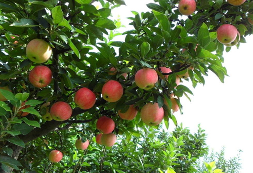 苹果专用掺混肥