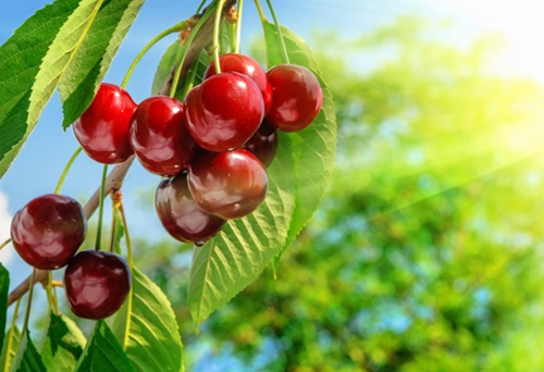 樱桃专用复混肥