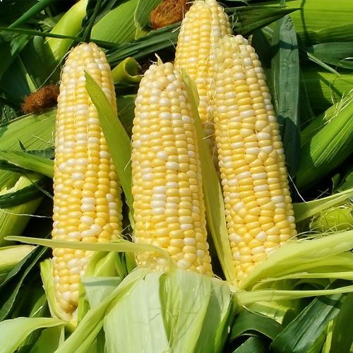 玉米有机肥